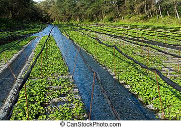 campo, planta, wasabi