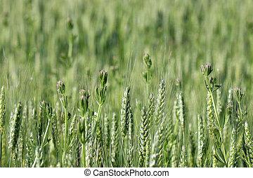campo, primavera, trigo, verde, estación