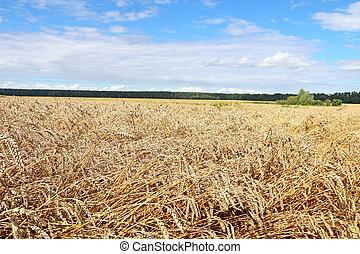 campo, pronto, para, colheita