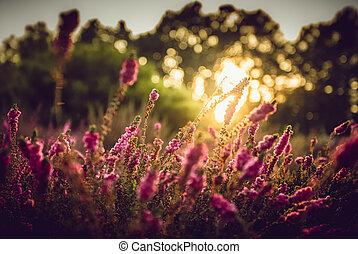 campo, provence, lavanda, pôr do sol