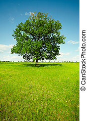 campo, -, quercia, paesaggio