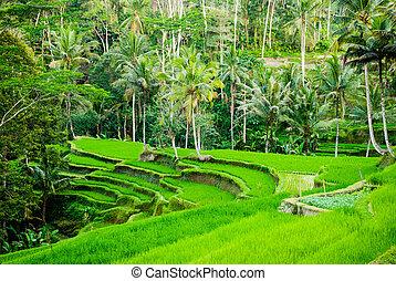 campo riso, indonesia, terrazzi, bali