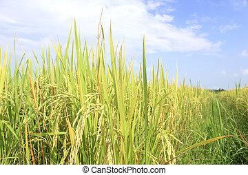 campo riso, sotto, cielo blu