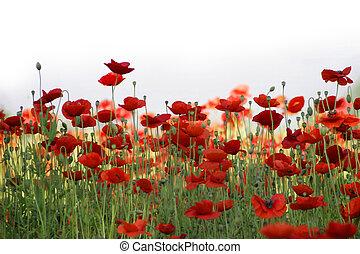 campo, rojo, amapolas