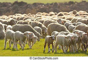 campo, sheep, gregge