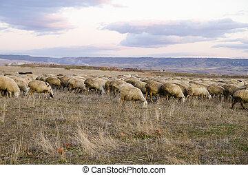 campo,  sheeps, ocaso, Cosecha