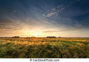 campo, sobre, pôr do sol, cevada, ouro