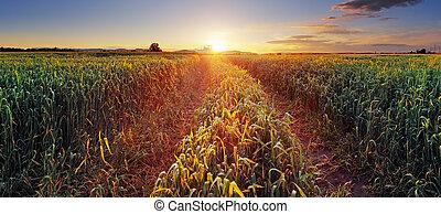 campo, sol, rural, trigal