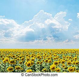 campo, sopra, cielo, nuvoloso, girasoli