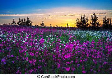 campo, sopra, fioritura, alba