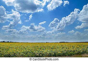 campo, sotto, cielo, nuvoloso, girasoli
