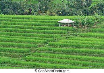 campo, terrazzi, bali, risaia