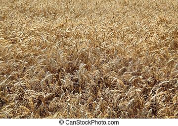 campo, trigo, Agricultura