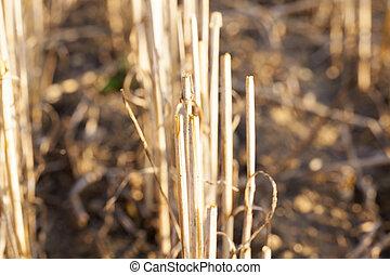 campo, trigo, colheita, colhido