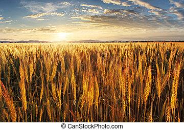 campo, trigo, ocaso