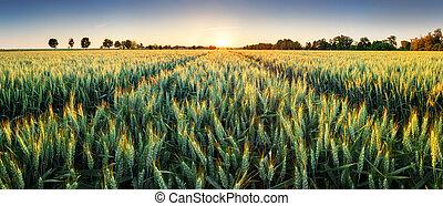 campo, trigo, ocaso,  panorama