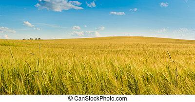 campo, trigo,  panorama