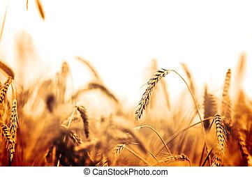 campo, trigo