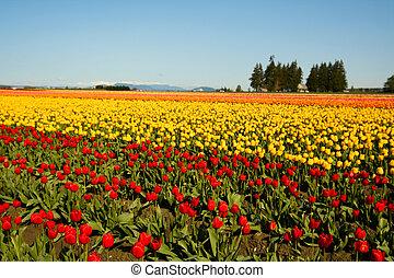 campo tulip