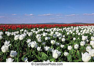 campo, tulipa, dia ensolarado, primavera