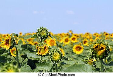 campo, verano, girasol, paisaje, estación