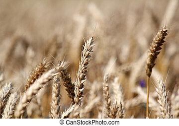 campo, verano, trigo, escena, dorado