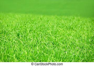 campo, verde