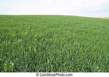 campo, verde, va, orizzonte