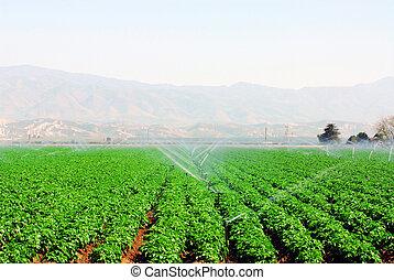 campo, verdura
