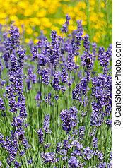 campo, violeta, lavanda, florecer