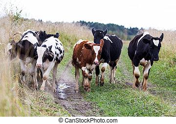 campo, vitelli, gregge