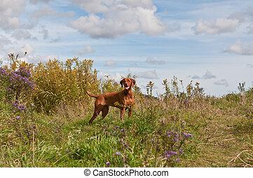 campo, vizsla, perro