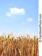 campo, wheaten