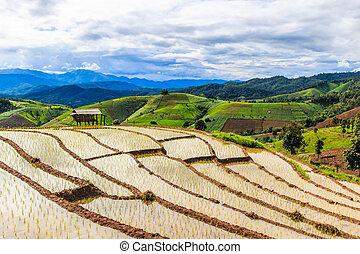 campos, -, ásia, chiang, pa, mai, tailandia, pong, arroz,...