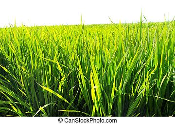 campos, arroz paddy