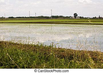 campos arroz, sob, céu nublado