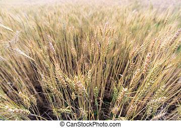 campos, cebada