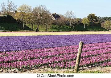 campos, con, hyacints