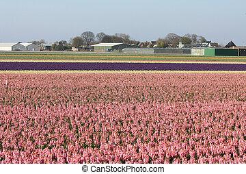 campos, con, rosa, hyacints