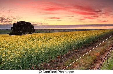 campos, encima, salida del sol, canola