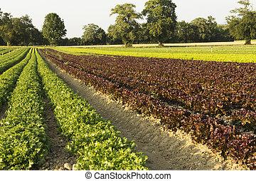 campos, saladas, agrícola