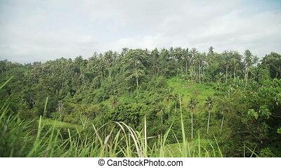 Campuhan Ridge Walk, Palm Tree and Jungle in Ubud, Bali,...