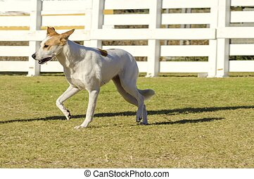 A young, beautiful, white and cream, brown, orange sable Canaan walking on the grass looking happy and playful. Kelef K'naani dogs are medium sized with erect ears, almond eyes, intelligent and very good watchdogs.