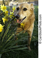 Canaan dog in a daffodil bed.