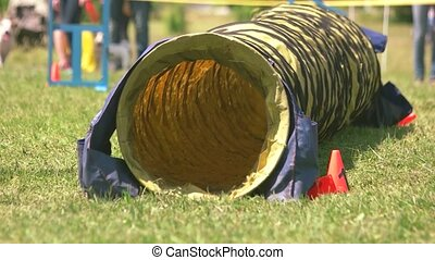 Canaan dog is quickly passing a tunnel. Agility tunnel...