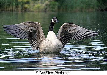canadá, canadense, /, ganso, bata, asas