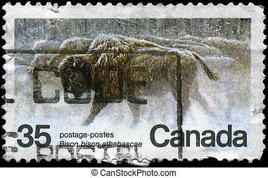 canadá, -, circa, 1981, bisonte