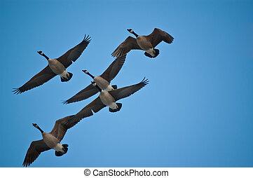 Canadá, Gansos, vuelo