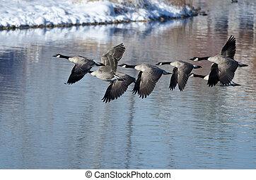 canadá, vôo, inverno, levando, lago, gansos