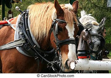 canada, cavallo, -, parco, giri, disegnato, stanley